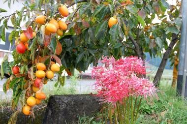彼岸花が終わり柿の色が濃くなってきます