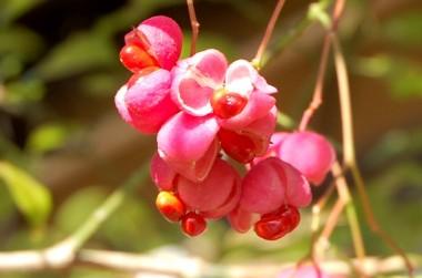 赤い実がはじけてもっと赤い種が見える