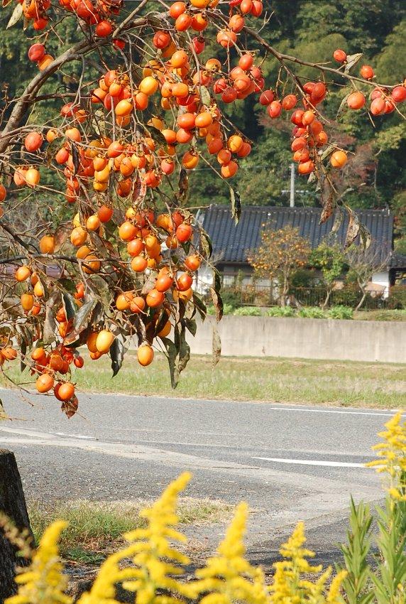 畑に行く途中のすっかり色付いた渋柿