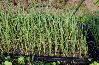セルトレイは苗土が多いせいなのかポット苗より大きくて揃いが良い