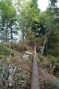 樹間を狙った伐倒方向にピタリとおさまった