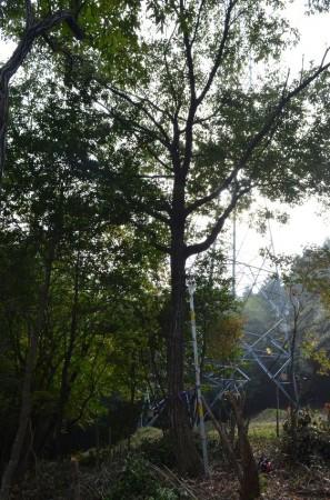 ① 落葉樹は枝が不規則に出て思わぬ方向に倒れる事がある