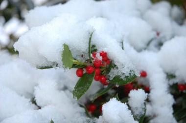 雪に似合うクリスマスホーリー