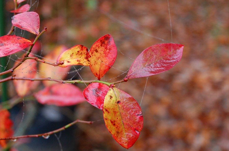 鉢植えのブルーベリーの紅葉もそろそろ終わりに