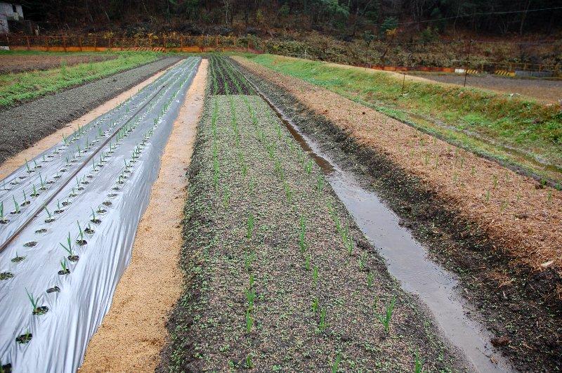 左は銀黒のビニールマルチ、中央の手前はレンゲを播種、遠方は堆肥でマルチ、右の畝はチップマルチ