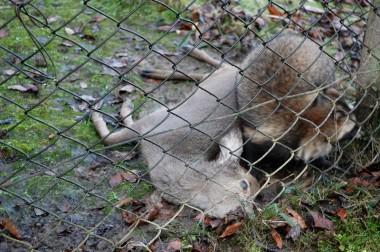 オリの中で狸に咬み殺されていた鹿