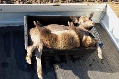 捕獲した狸と鹿