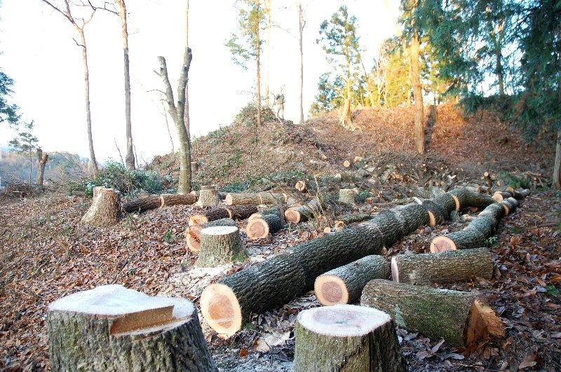 長くて太い樹だったけど全部狙い通りに伐倒できた