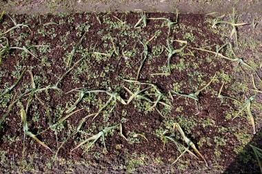 中央畝の手前は堆肥マルチ、レンゲマルチは遠方