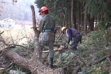 倒した樹は枝が太ももより太い
