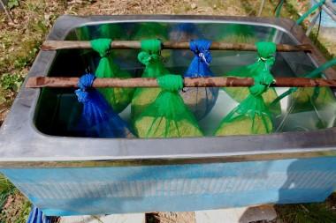 温湯消毒の後は水風呂で浸種