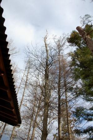 伐る前の上部が枯れた栗の木