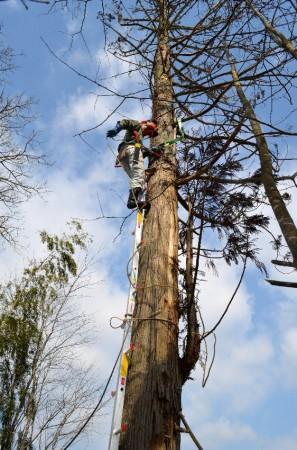 伐る樹に引っ張り用のワイヤーロープ取付