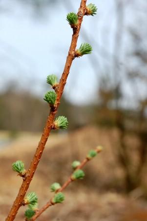 裏山で種が落ちて生えたカラ松の新葉