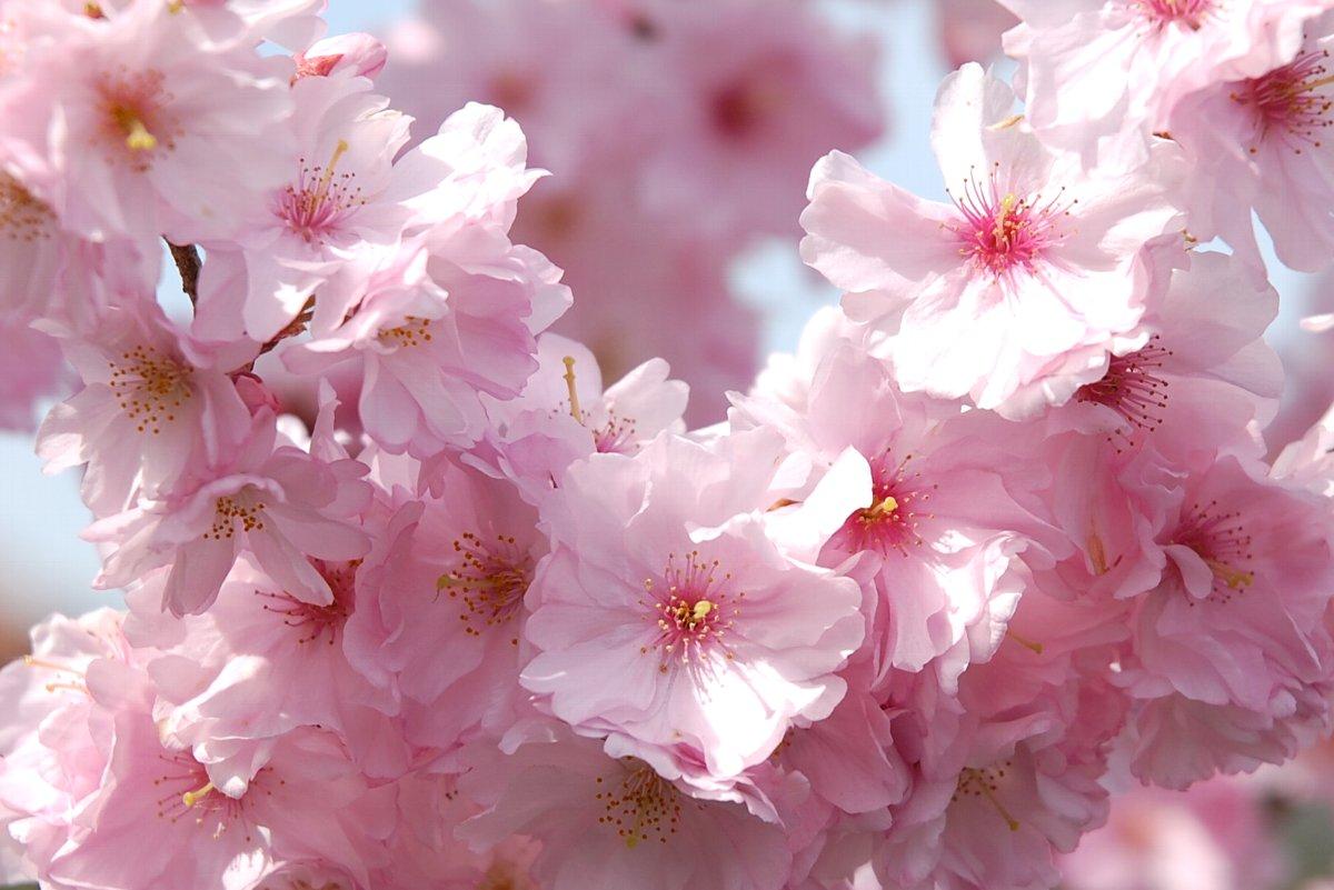 田んぼ近くで何時もお世話になっているTUNEさんの桜