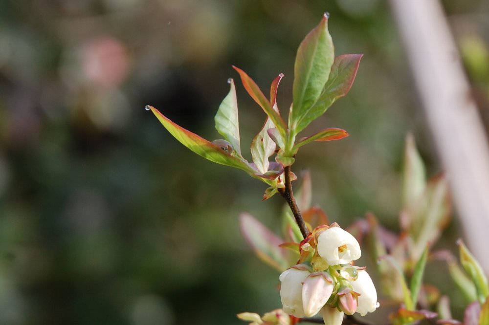 今年の春に植え替えたブルーベリー