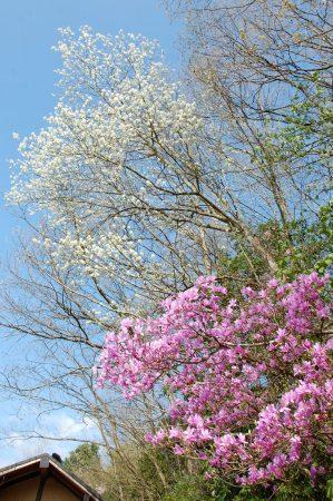 ツツジと白い花の木