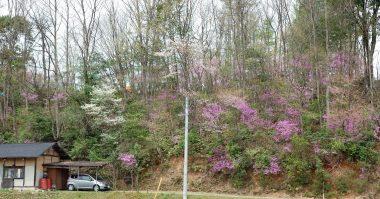 自宅進入路付近の裏山、山桜も咲き始めた