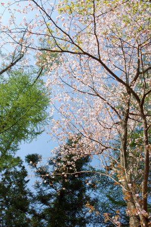 山桜とカラマツの新緑