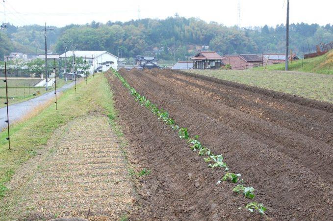 40mの畝に100本を斜め植え