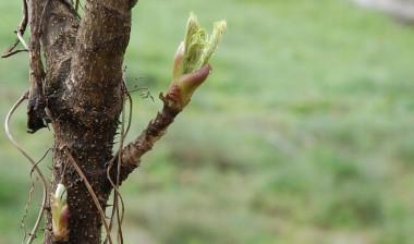 そろそろ食べ頃になったタラの芽