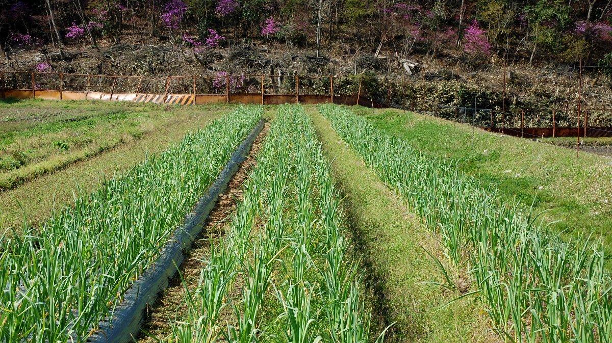 左側 ビニールマルチ、中 堆肥マルチ、右側 竹チップマルチ