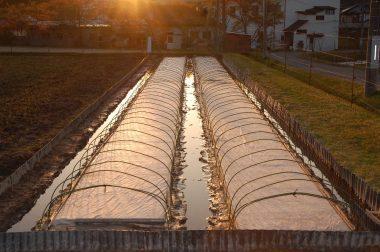 2畝共、不織布を掛けてビニールトンネルのアーチパイプを立てた