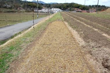 .種まきが終わった畝に切りワラを掛けて乾燥防止で完了