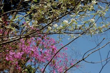 葉も花も白いので遠くから見ると全体が白い樹に見える