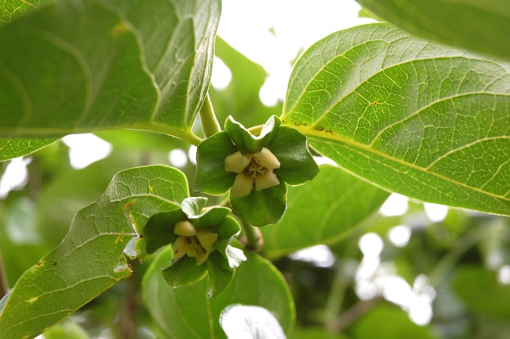 アタゴ柿の花