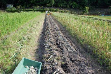 掘ったら畝の上で乾燥