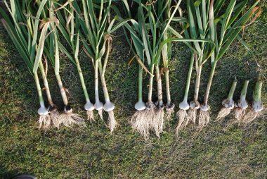 栽培方法を5種類やった比較