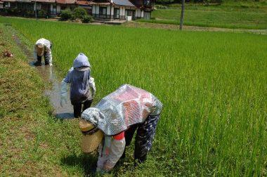畦際から群生して田んぼの中の向かって伸びるイボ草を手で取る