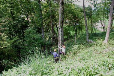1本梯で樹に登って引き倒し用のロープを取付ける