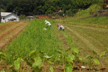 草取りではありません、広さん夫妻のジャガイモ掘りです