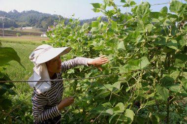 田んぼの手取除草前に、インゲンの収穫