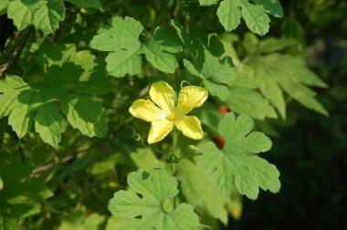 ゴーヤの花はとっても爽やかな香り