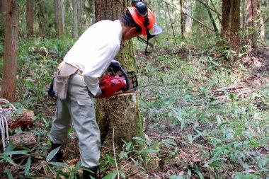 天然の栗の樹、幹は健全な状態なので受け口は普通に