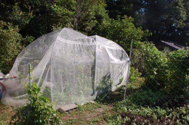 強風の度に転がっていた鉢植えのブルーベリーを地に植えて鳥除けネットを掛けたら塾したのが沢山見えだした