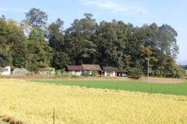 左はコシヒカリ 右隣は収穫の終わった飼料稲