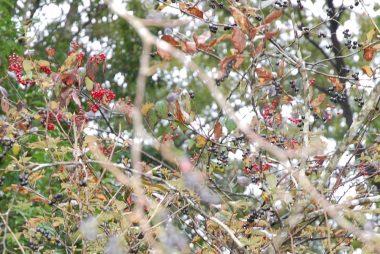 赤い実はガマズミ、黒い実はハチマキイチゴ(ナツハゼ)