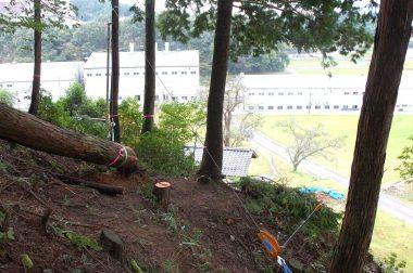 樹の根元をチルホールで吊り上げて斜面を降ろす