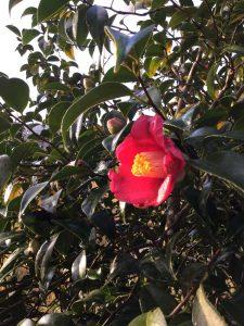 咲き始めた椿