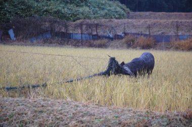 田んぼの中や道路を走り回る、時々威嚇して来る