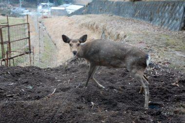くくり罠にかかった鹿