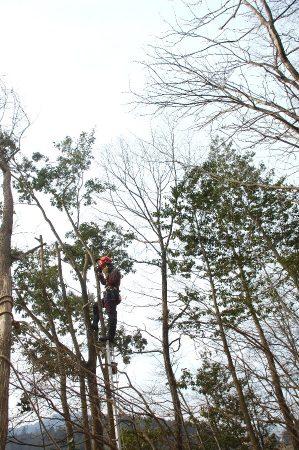 長いまま倒すとツツジ等の低木が痛むので登って少しづつ伐り落とす