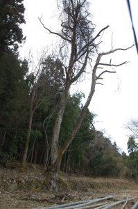 二股になった枯損木のナラの樹と左奥のナラの樹、2本の処理を頼まれた