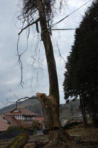 樹が傾いている方向に住宅と工場の電線があり引き起こして倒さなくては