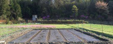 畝の上に根切りネットを敷き、苗代を鹿除けネットで囲む