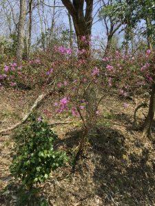 裏山のツツジが16日ごろから咲き始めた